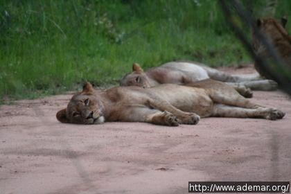 Leões à beira da estrada