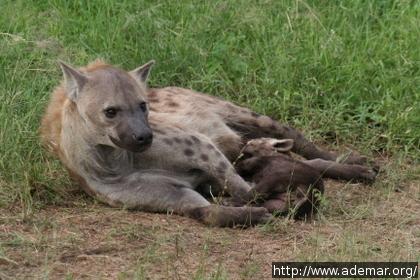 Hiena amamentando seu filhote