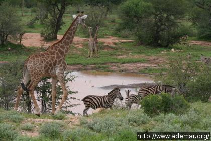 Girafas e Zebras próximas a um lago